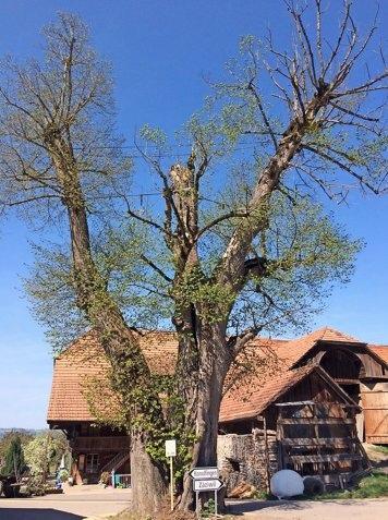 Die Frage ist nicht ob, sondern wann die alte Dorflinde in Niederhünigen gefällt wird. (Foto: PD)
