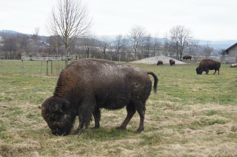 Die amerikanischen Bisons weiden aus ästhetischen Grüden auf der Tägermatt, liefern aber auch feines Fleisch. (Bilder: Eva Tschannen)