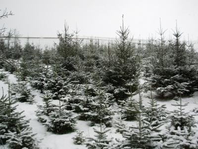 selbstst ndig weihnachtsbaum in der plantage aussuchen und. Black Bedroom Furniture Sets. Home Design Ideas