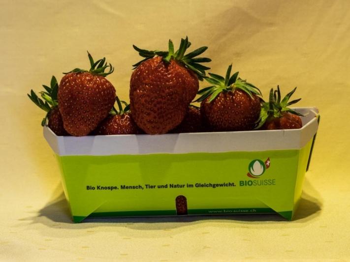 die ersten schweizer BIO Erdbeeren bei Zäzibiene