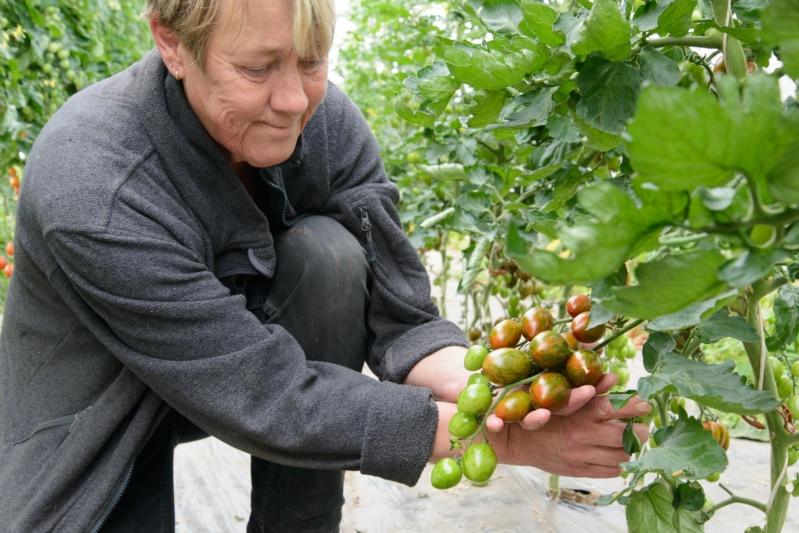 Denise Bläuer begutachtet eine weitere besondere Tomaten-Sorte.