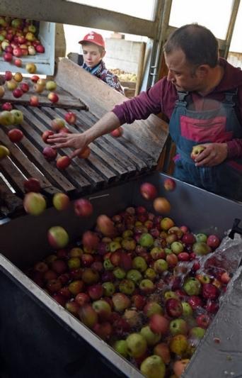 Während Remo Sieber die Äpfel auf die Rutsche kippt, sortiert Moster Beat Burkhalter die faulen aus. (Bild: Andreas Blatter)
