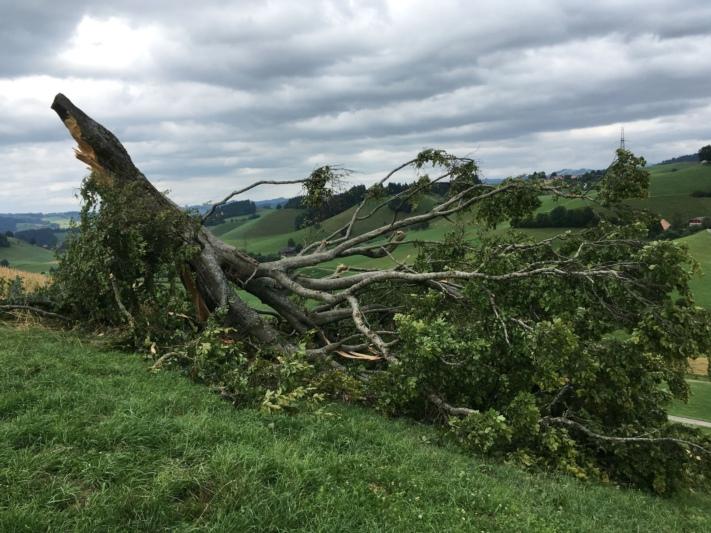 """""""Wie ein Zündholz"""" knickte der Gewittersturm den rund 200 Jahre alten Baum. (Bilder: zvg)"""